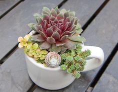 Succulent+arrangement+in+white+espresso+cup+by+iDreamOfSucculents,+$12.00