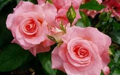 New amazing flowers pics every day, be the first to see them! Fantastic flowers will make your heart open. Easily get in a great mood and feel happy all day long! Beautiful Pink Roses, Love Rose, Amazing Flowers, Love Flowers, My Flower, Flower Vases, Pretty In Pink, Flower Power, Flowers Pics
