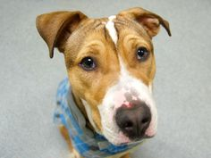 TO BE DESTROYED - MON 4/28/14, Manhattan Cntr BUNDEE - A0997281   MALE TAN/WHT PIT MIX, 3 yrs  STRAY - 04/21/2014Who knows what good or bad things this sweet boy has experienced in his first 3 years of life. Startles easily, stays close to people. Likes kids, strangers, dogs. Sits on command & friendly. Likes other dogs. Affectionate about wary (survival behavior?). NO aggression. Bundee has such amazing potential and once he's settled in a safe, loving home, he'll grow to be a loving…