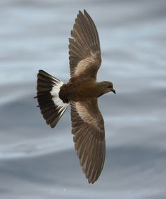 WILSON'S PETRELS....aka Wilson's storm petrel....measure 6.3–7.3inches long with a 15–16.5inch wingspan....one of the most abundant bird species in the world....has a circumpolar distribution