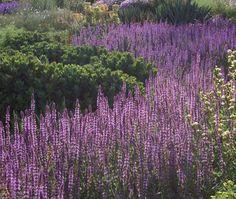 Salvia nemorosa 'Amethyst' | Lambley Nursery 70x40cm (x14) amethyst pink flowers