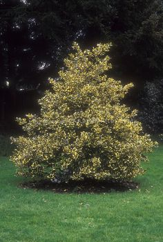Ilex × altaclerensis 'Golden King'