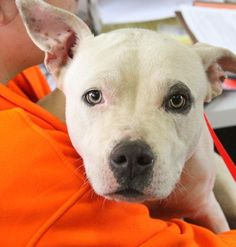 07/20/14 sl ~~Angel~ Pit Bull Terrier Mix • Young • Female • Medium Bowling Green-Warren County Humane Society Bowling Green, KY