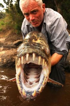 The Goliath Tigerfish may be the most fearsome fish you'll ever see - and you'd better hope it doesn't see you first! Ferocious in temperament, armed to the gills with 32 razor-sharp teeth and accustomed to hunting in packs, the Terror Of The Congo makes piranhas seem like pussycats and The Incredible Mr. Limpet look, well, limp.