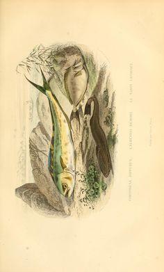 t. 2 - Histoire naturelle de Lacépède : - Biodiversity Heritage Library