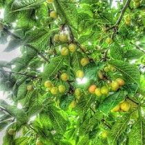 Cherry tree.