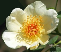 Photo of the rose 'Golden Wings ' Rose Photos, Flower Photos, Cut Flowers, Pretty Flowers, David Austin, Most Popular Flowers, Golden Wings, Asian Garden, One Rose