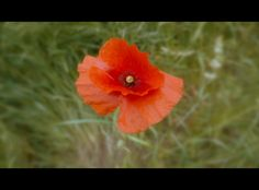 Poppy in the Field by Vigentle Poppy, Fields, Nature, Plants, Naturaleza, Poppies, Plant, Off Grid, Natural