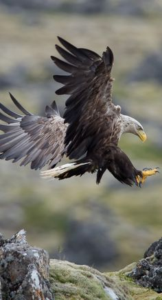 The White-tailed Eagle (Haliaeetus albicilla), Landing in Iceland / photo: Gudmann. This eagle with its white coloring looks like part of the landscape of the northern parts of its habitat. The Eagles, Types Of Eagles, Bald Eagles, Photo Animaliere, Photo D Art, Eagles Tattoo, Photo Aigle, Beautiful Birds, Animals Beautiful