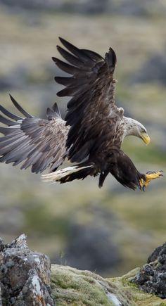 Aigle Aigles, Oiseaux De Proie, Oiseaux Exotiques, Beaux Oiseaux, Animaux  Sauvages, a23bc0d979e