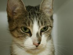 HATCHIE - A1039063 - - Manhattan  ***TO BE DESTROYED 06/23/15*** NEW BABY AND ALLERGIES WERE THE REASON HATCHIE WAS DUMPED IN THE SHELTER AND NOW WITH A COLD THEY WILL JUST CURE HER WITH A LETHAL INJECTION. HATCHIE'S owner got her when she was a kitten and now is having a baby. She felt that with asthma that HATCHIE would be better of dumped in a shelter who probably promised to find her a home. NOW HATCHIE DIES AT NOON because she has a cold. HATCHIE got a great EXPE