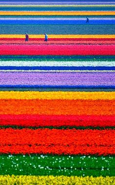 Tulip Fields Netherlands. For a full board of Flower Farms and Fields of Flowers pins with 'No Pin Limits', Click here: https://www.pinterest.com/annesminis/~-flower-farms-fields-of-flowers-~/