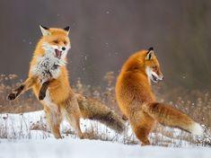 Fox Dance by © Lukasz Dobkowski