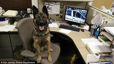 Hero police dog Sultan killed by suspect in California police standoff German Shepherd Mix, German Shepherds, Big Dogs, Cute Dogs, Military Working Dogs, San Jacinto, Irish Wolfhound, Belgian Malinois, Police Dogs