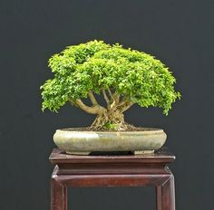 Let's Learn Japanese 日本語を勉強しましょう: The Art of Bonsai Boxwood Bonsai, Bonsai Garden, Bonsai Trees, Topiary Plants, All About Plants, Green Zone, Buxus, Tiny World, Horticulture