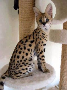 What a beauty! Serval cat