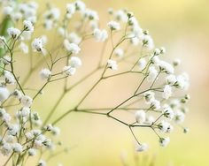 Flower fine art photography, floral wall decor photo print, feminine wall art, baby's breath fine art print, yellow white green gypsophila