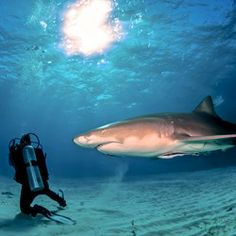 The Fiji Shark Dive