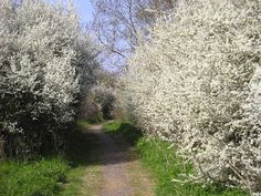or should it be There's no Blossom like Sloe Blossom? Cottage In The Woods, Primroses, Prunus, Blossom Trees, Beautiful Dream, Plant Design, New Leaf, Winter White, Landscape Architecture