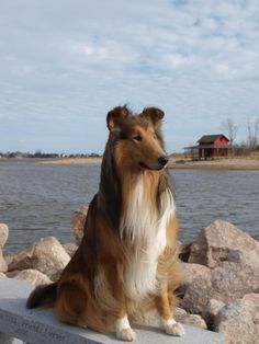 Spring is here! Rough collie posing by the water