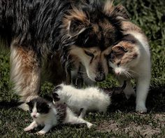 Mama cat introduces her new babies to her friend.