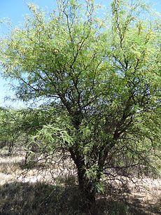 Prosopis flexuosa, conocida como ALGARROBO DULCE,es Árbol que llega a medir 8 metros de altura, espinoso y de copa muy amplia. Su fruto, la algarroba, es una vaina carnosa muy dulce utilizada para la elaboración del patay.