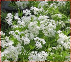 Galium odoratum - Lievevrouwbedstro