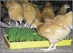 Lisa's Buff Orpington pullets enjoy a tray of wheat grass. Good article on feeding the chooks