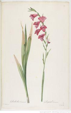 Les Liliacées. Tome 5 / , par P.-J. Redouté Auteur : Redouté, Pierre-Joseph 1809