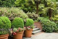 boxwoods and terra-cotta pots