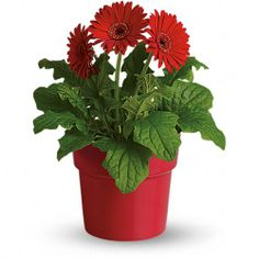 In living color! Send them a lovely, long-lasting gift with this potted red gerbera daisy plant. An exceptional value, the happy houseplant is presented in a red-glazed terra-cotta pot that can be used to brighten up their windowsill for years to come. Indoor Flowering Plants, Blooming Plants, Flowering Plants In India, Red Plants, Cool Plants, Tropical Plants, Cheap Flower Delivery, Mothers Day Plants, Plant Delivery