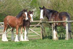 Love my Shire Horses...  I so miss LuLu