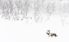 1336525. Caribou (Rangifer tarandus) in snowy landscape, Abisko, Sweden