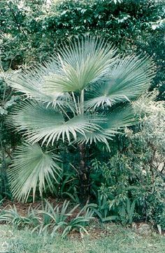 Trachycarpus martianus from the mountains of India, Nepal, and Burma.