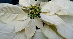 white poinsettias - Yahoo Image Search Results