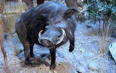 giant-forest-hog...largest of the pig family