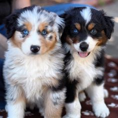 Aussie puppies - cuteness! More