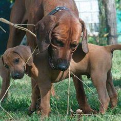 #cani #caniofistangram #dogofistagram #dogs #rhodesian #rhodesianridgeback #rhodesianridgebacksofinstagram