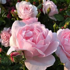 'Scepter'd Isle' roses | Flickr - Photo Sharing!