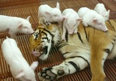 tiger and her piggies!