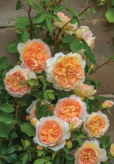 Bathsheba is a climbing introduced in 2016 by David Austin. Given her fine scent, this is one you'll want to keep close by. Grow Bathsheba over a sunny wall, pergola or fence – east, west Unique Roses, Beautiful Roses, Tea Roses, Pink Roses, Orange Roses, David Austin Rosen, Parfum Rose, Fragrant Roses, Growing Roses