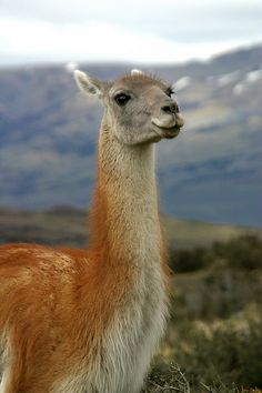 Patagonia encompasses ancient forests, glaciers, lakes, rivers and fjords, and… Wild Creatures, All Gods Creatures, Alpacas, Patagonia, Animals And Pets, Cute Animals, Argentina Travel, Mundo Animal, Pet Birds