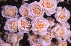 Amber Abundance  Selling Name (UK): Amber Abundance  Varietal Name: Harfizz