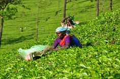 Tea picking lady
