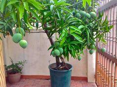 best dating a dwarf mango trees