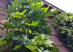 Magnum hops are almost ready for harvest. The Cascade hop cones will be next. Calming Tea, Gazebo, Pergola, Beer Hops, Harvest Time, Home Brewing, Garden Landscaping, Ale, Herbs