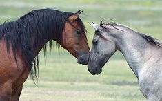 ♥ Stallion and Mare ~ a beautiful courtship ♥