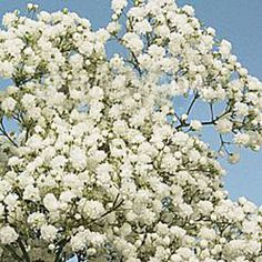 Baby's breath. $119 for 10 bunches.
