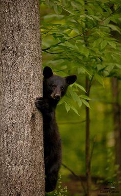 Black Bear Cub Peeking Amazing Photos of Black Bears shared by Whistler Photo Safaris, Whistler. www.whistlerphotosafaris.com