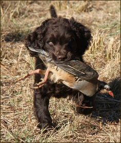 Hunting Boykin Spaniel Dog caught a Bird